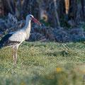 Weißstorch, White Storck, Ciconia ciconia, Cyprus, Pegeia-Agios Georgios, April 2017