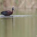 Plegadis falcinellus - Glossy Ibis - Brauner Sichler, Cyprus, Akrotiri - Zakaki Pool, March 2013