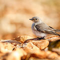 Muscicapa striata - Spotted Flycatcher - Grauschnäpper, Cyprus, our Garden, Juni 2012