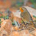 Erithacus rubecula - European Robin - Rotkehlchen, Cyprus, Agios georgios - our Garden, 12.02.2014
