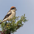 Lanius senator - Woodchat Shrike - Rotkopfwürger, Cyprus, Pegeia, April 2015