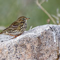 Anthus pratensis - Meadow pipit - Wiesenpieper, Cyprus, Anarita, March 2016