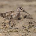 Culidris ferruginea - Curlew Sandpiper - Sichelstrandläufer