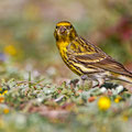 Serinus serinus - European Serin - Girlitz, Cyprus, Mandria Beach, March 2014