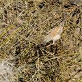 Brillengrasmücke, Spectacled Warbler, Sylvia conspillata, Cyprus, Paphos, Ineia-Kittopopos spring, August 2018