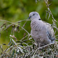 Türkentaube, Collared Dove, Streptopelia decaocto, Cyprus, Pegeia-Agios Georgios, our Garden, April 2019