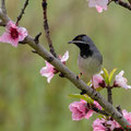 Maskengrasmücke,  Rüppell´s Warbler, Sylvia ruepelli, Cyprus, Pegeia - Agios Georgios, March 2019
