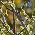 Fitis, Willow Warbler, Phylloscopus trochilus, Cyprus, Pegeia-Agios Georgios, April 2017