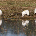 Kuhreiher, Cattle Egret, Bubulcus ibis, Cyprus, Akrotiri Marsh - Fasouri, Januar 2019