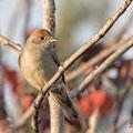 Sylvia atricapilla - Mönchsgrasmücke - Blackcap female, Cyprus, Villa Levante, Oktober 2016