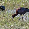 Plegadis falcinellus - Glossy Ibis - Brauner Sichler, Cyprus, Akrotiri Marsh - Fassouri, April 2018