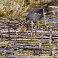 Bekassine, Common Snipe, Gallinago gallinago, Cyprus, Limassol-Zakaki Pool-Marsh, 27. September 2018