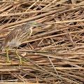 Rallenreiher, Squacco Heron, Ardeola ralloides, Cyprus, Limassol, Zakaki Marsh - Pool, 18. October 2018