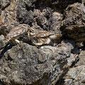 Steinkauz, Little Owl, Athene noctua, Cyprus, Paphos - Anarita Park Area, Futterübergabe, Mai 2018