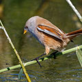 Panurus biarmicus - Bearded Reedling (female) - Bartmeise, Cyprus, Paphos - Ezousas Pool, November 2015