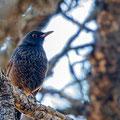 Thurdus merula, Amsel, Common Blackbird, Cyprus, Troodos Mountain, November 2016
