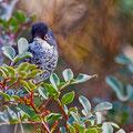 Sylvia melanothorax - Cyprus Warbler - Schuppengrasmücke, Cyprus, Souni, Spring 2014
