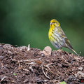 Girlitz, European Serin, Serinus serinus, Cyprus, Androlikou Area, April 2019