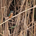 Eisvogel, Common Kingfisher, Alcedo atthis, Cyprus, Limassol, Zakaki Marsh - Pool, 18. October 2018