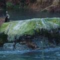 Cormorán en mitad del río Eume