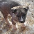 Siberian husky CHICO