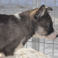 Siberian husky CAB