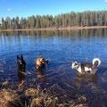 Ein kühlendes Bad für die Hunde im Fluss