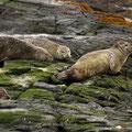 Seehunde halten Ausschau