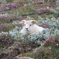 Schaf versteckt in Heide- und Weidengebüsch