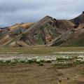 Wollgraswiese in Landmannalaugar