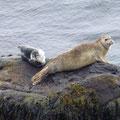 entspannte Seehunde