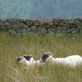 """Schafe überall ... hier sind's die """"Scottish Blackface"""""""