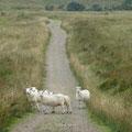 immer gerade aus ... den schönen Weg nutzen auch die Schafe