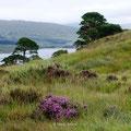 Scots Pines - Waldkiefern