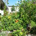 reiche Ernte auf der Terrasse