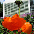 Impression - geliebter roter Mohn
