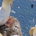 Netzstrippen aus Kunststoff, zu Nestern verwoben. Diese Strippen können ihr Verhängnis werden, sie verheddern sie sich leicht