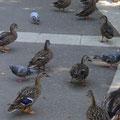 Tauben und Enten aus der Nähe beobachten - Freude für alle Kinder