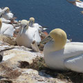 Basstölpel nisten dicht gedrängt auf kleinem Fleck des Felsen, - © Peter Diziol - ine  Idylle? Wir Menschen zerstören die Umwelt mit Plastik Abfällen!