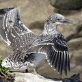 Kormorane, ihr Gefieder ist nicht wasserdicht, breiten daher ihre Flügel zum Trocknen aus