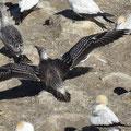 Elsterscharbe ( Kormoran) und Basstölpel leben in Neuseeland in Kolonien