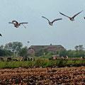 Wildgänse fliegen nach Süden -  © Peter Diziol
