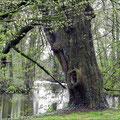 Ein Baum im Schlosspark von Schloß Itlingen
