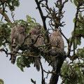 3 Junge Falken - © Thomas Kruschina
