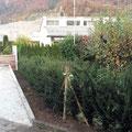 Eiben-Hecke pflanzen