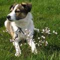 Abby, adoptado de un cachorro en 2011