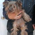 yorkshire de 12 anos, robado en el 2009, gracias del chip esta ahora volviendo en su familia que ha esperando tantos anos