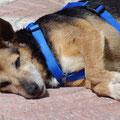 Koko 2708, una perra mayor 2006-12 en Gandia , adoptado en Alemania