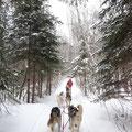 Schlittenhunde auf Tour in den Wäldern von Ontario.