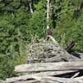 Kayak in Kanada: Während der Tour kommt uns ein Adler vor die Linse.